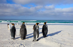 Bird on white sand beach. Group of King penguins, Aptenodytes patagonicus, going from white sand to sea, artic animals in the natu Royalty Free Stock Image