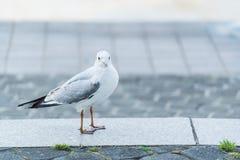Bird. A white bird see a camera Royalty Free Stock Photos