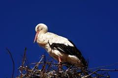 Bird, White Stork, Stork, Sky royalty free stock photography