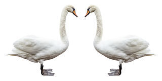 Bird white swan side view isolated. Royalty Free Stock Photo