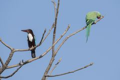 Bird: White Throated Kingfisher and Rose Ringed Parakeet  Perched on Tree. The white-throated kingfisher also known as the white-breasted kingfisher is a tree Royalty Free Stock Image