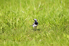 Bird white Wagtail walks among the green grass in the spring Royalty Free Stock Photo