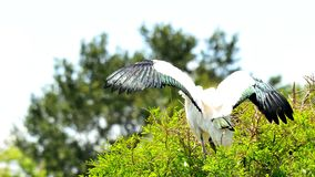 Bird, white wood stork on top of tree in wetlands Royalty Free Stock Photography