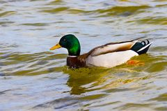 Bird a wild drake swims along the river Stock Image
