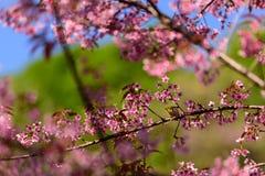 A bird and  Wild Himalayan Cherry Stock Images