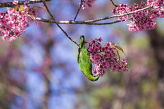 Bird on Wild Himalayan Cherry tree, head downward Royalty Free Stock Images