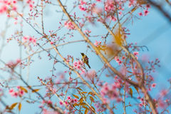 Bird On Wild Himalayan Cherry Tree in Phu Lom Lo Thailand. Wild Himalayan Cherry Blossoms in Thailand Royalty Free Stock Image