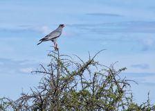 The bird. Wild bird is sitting at tip of tree in Africa bush Royalty Free Stock Photos