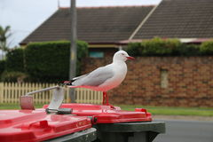 Seagull in Australia. Wildlife is so amazing.sometimes is looks unbelievable Stock Photo