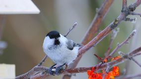 Bird - Willow Tit  Poecile montanus  sitting on a branch of a tree and and eats a sunflower seed. stock footage