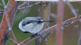 Bird - Willow Tit  Poecile montanus  sitting on a branch of a tree and and eats a sunflower seed. stock video footage