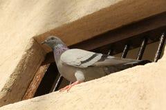 Bird on the window Royalty Free Stock Photography