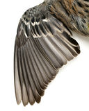 Bird Wing Feathers. Close-up of a bird wing with spread out feathers Royalty Free Stock Photo