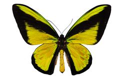 Bird wing swallowtail Royalty Free Stock Image