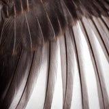 Bird wing texture. Bird wing feather texture background Stock Photo