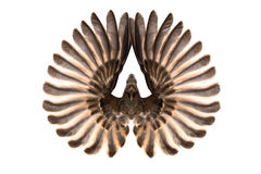 Bird wings isolated on white Royalty Free Stock Photography