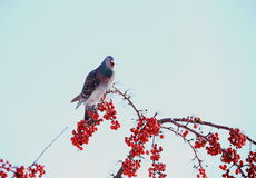 Bird and Winter berry and snow in northeast snow storm 2014 Royalty Free Stock Photography