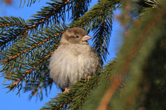 Bird in winter. At minus temperatures in winter bird feathers fluffed and retains heat Royalty Free Stock Photo