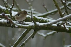 Bird in the winter on a tree with snow stock images