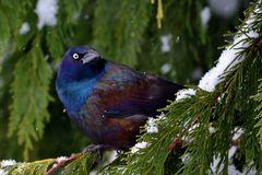 Bird in a winter wonderland. This bird was so striking with the winter snow and weeping cedar to show his stunning colorts Stock Photo