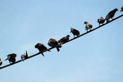 Bird on the wire. A line of bird resting on an overhang telecommunication cable stock photo