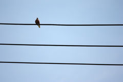 Bird on a wire. Pigeon bird perched on a wire against blue sky Royalty Free Stock Photos