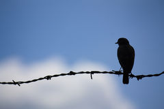 Bird on a wire. Bird in silhouette perched on barbed wire against a blue sky Stock Photography