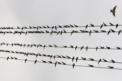 Bird on the wire. A lines of bird resting on an overhang telecommunication cable Stock Images