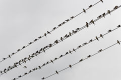Bird on the wire. A lines of bird resting on an overhang telecommunication cable royalty free stock photo