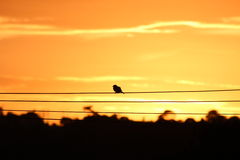 Bird on The Wire Royalty Free Stock Images