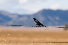 Bird on a wire. A black bird perches on a barb wire fence near the Maxwell National Wildlife Refuge in New Mexico, with the prairie and mountains in the Royalty Free Stock Image