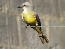 Bird 4. A bird on the wire Royalty Free Stock Photos