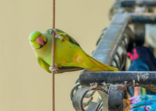 Bird on a wire. Green Parrot on a vertical wire stock images