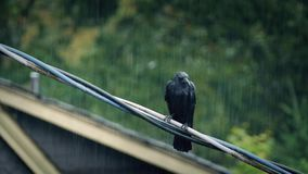 Bird On Wire In Heavy Rainstorm. Black bird on telephone wires near houses in the rain stock video footage