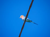 Bird on a wire, lilac breasted roller. Stock Photography
