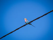 Bird on a wire, lilac breasted roller. Stock Photo