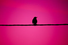 Bird on a wire pink Stock Image