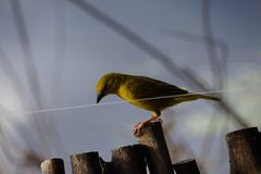 Bird on the wire. This bird played with a fishing string in Botswana Royalty Free Stock Photos
