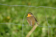 Bird at a wired fence. European Robin take a overlook from a wired fence in their hunt for insect before the autumn migration stock image