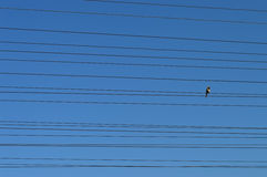 Bird on wires. Royalty Free Stock Photo