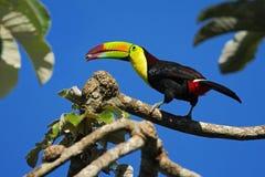 Free Bird With Big Bill Keel-billed Toucan, Ramphastos Sulfuratus, With Food In Beak, In Habitat With Blue Sky, Belize Stock Photos - 67954693