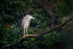 Free Bird With Heavy Rain. Night Heron, Nycticorax Nycticorax, Grey Water Bird Sitting Above The Water, Hungary. Wildlife Scene In Stock Photos - 187336433