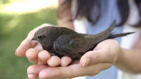 Bird in woman hands outdoors on nature. Human and the animal connection. The concept of trust and friendship. Bird in woman hands outdoors on nature. Black stock video