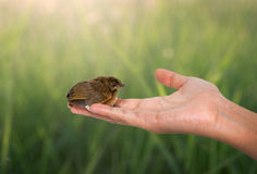 Bird on a women hand. And nauute background Royalty Free Stock Photo