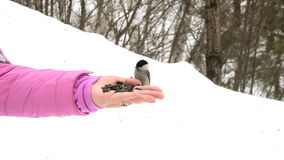 Bird in women`s hand eat seeds stock video