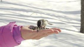 Bird in women`s hand eat seeds stock video