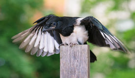 Bird on wooden fence Royalty Free Stock Photo
