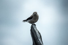 Bird on wooden perch Royalty Free Stock Photos