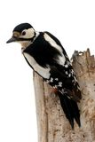 Bird woodpecker. Isolated Great Spotted Woodpecker up the tree Stock Images