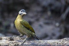 Bird: Woodpecker Royalty Free Stock Photography